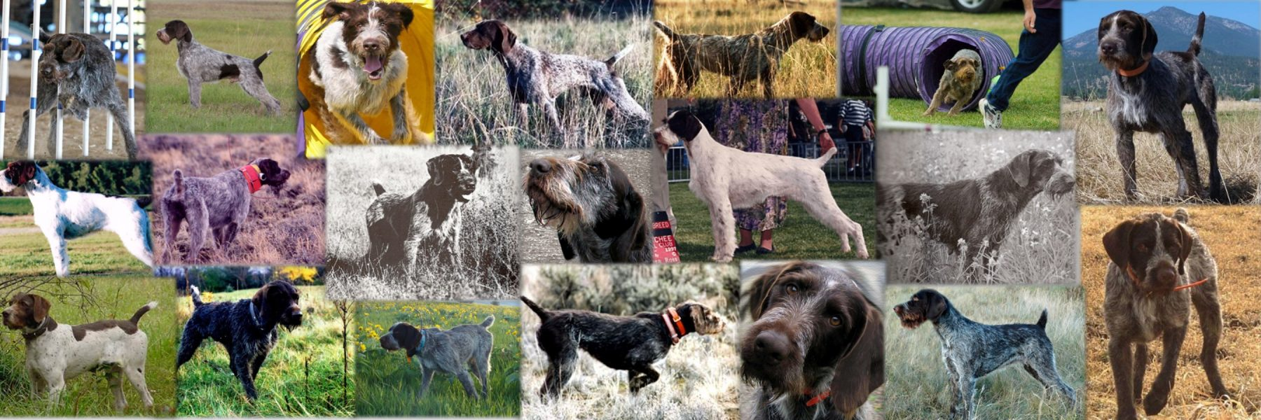 German Wirehaired Pointer Club of America
